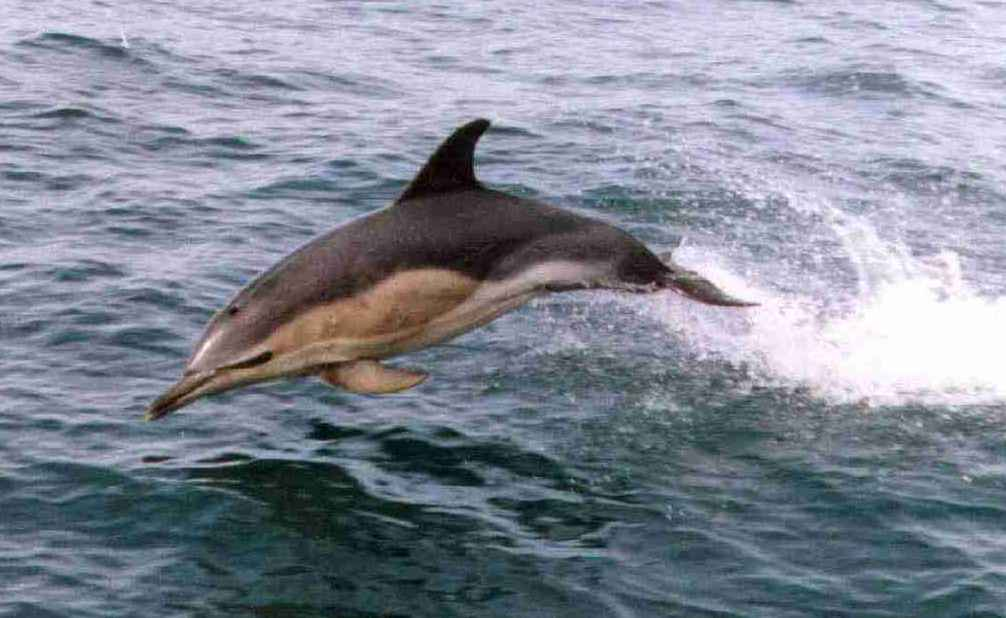 common dolphin2